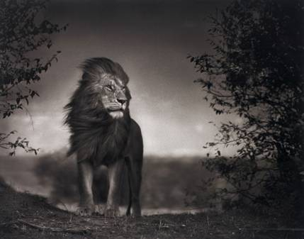 Nick Brandt, Lion before storm I, Maasai Mara, 2006. Venduto per €37.700.