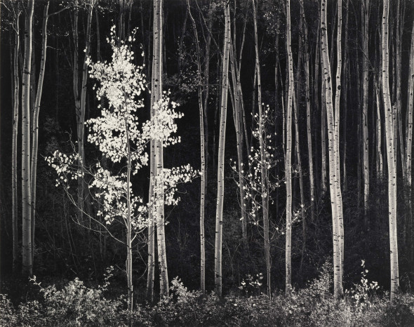 Ansel Adams, Aspens, Northeran New Mexico, 1958, Stampa alla gelatina sali d'argento, cm 36.1 x 44.5, Courtesy by Photographica FineArt Gallery, Lugano