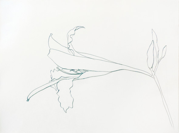 Berggruen Gallery Easter lily Ellsworth Kelly (Newburgh 1923-2015 Spencertown) Graphite on paper 54.6 x 74.9 cm (21 1/2 x 29 1/2 in.) Signed and dated in pencil, lower margin, verso 1984