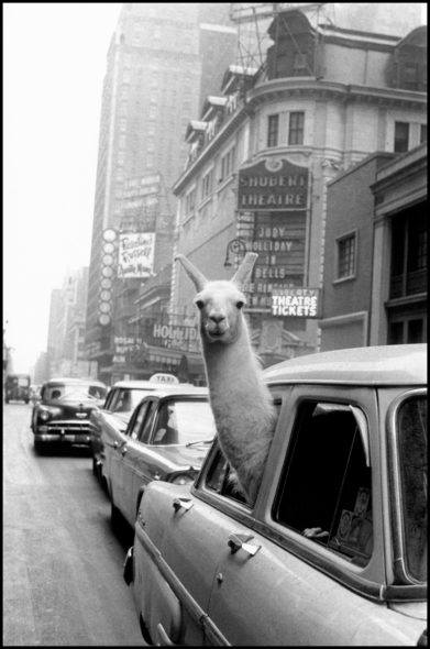 USA. New York City. 1957. A Llama in Times Square. ©Fotohof archiv/Inge Morath/ Magnum Photos""